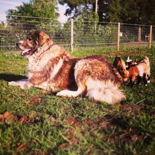 One of our livestock guardian dogs watching over the goat kids at Night Heron Farm